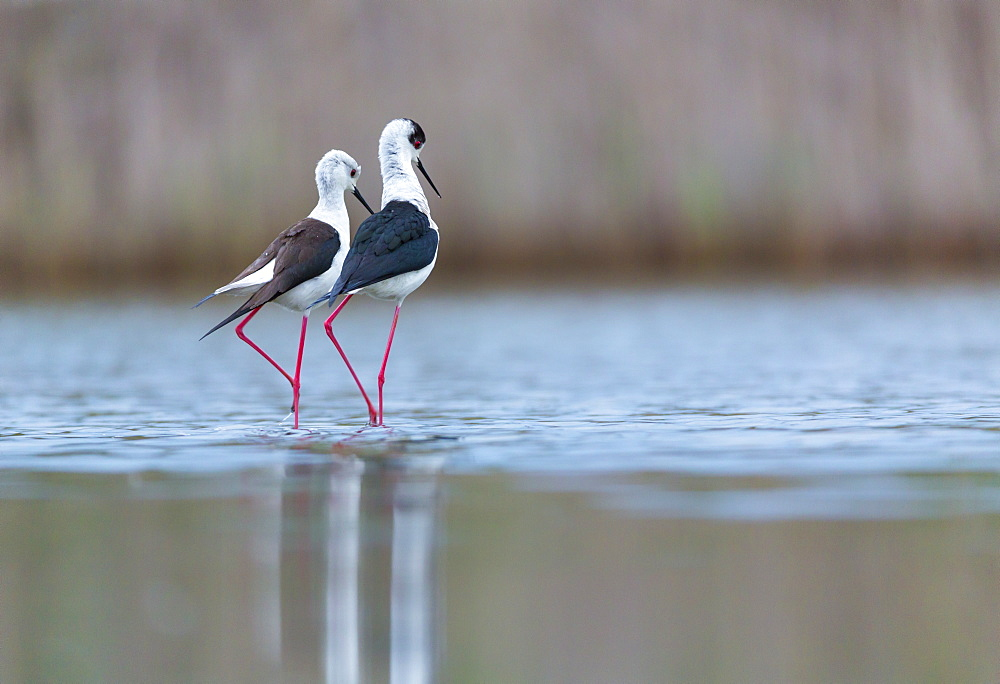 Black-winged Stilts displaying in water, Bulgaria