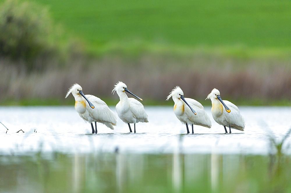 Eurasian Soonbills in marsh, Bulgaria