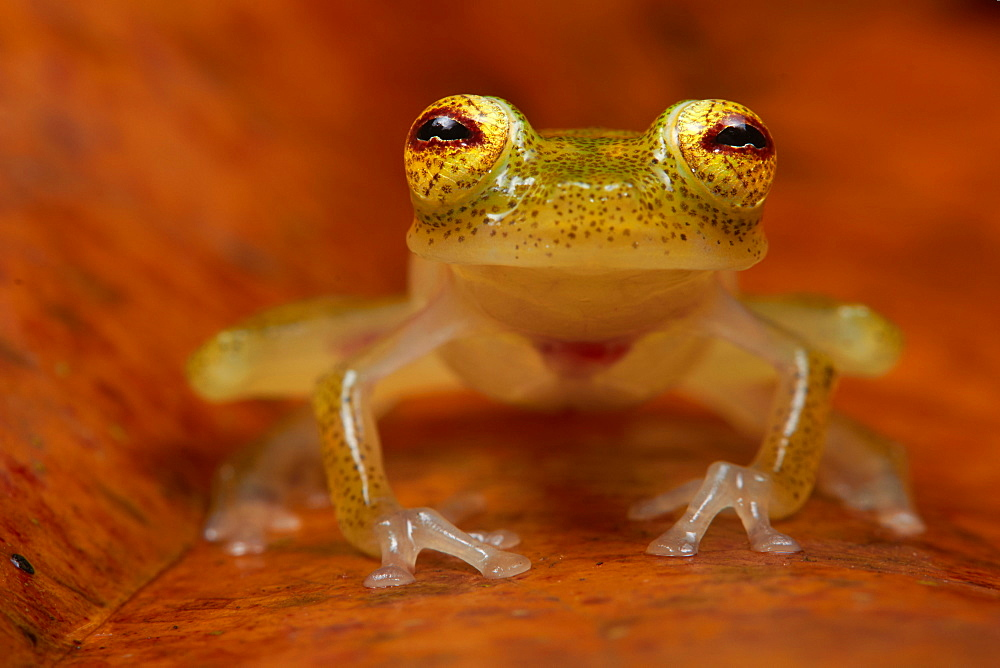 Glass Frog, Monkeys Mountain French Guiana