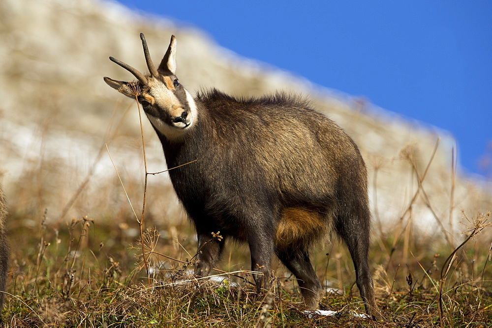 Male Chamois marking his territory, Jura Switzerland