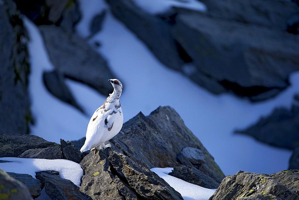 Male Rock Ptarmigan on rock, Swiss Alps
