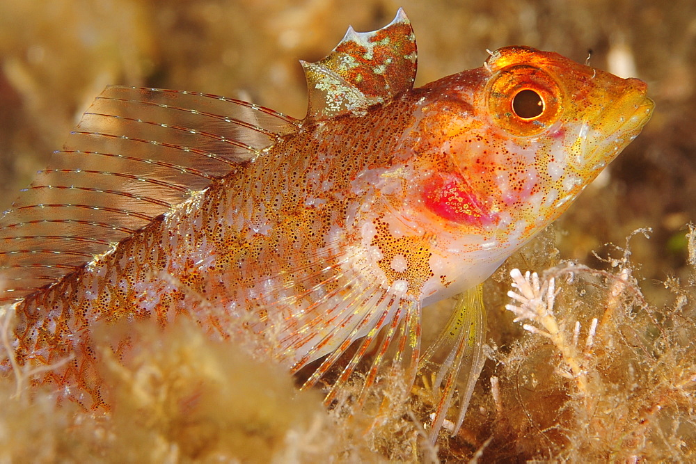 Red blackfaced Blenny on reef, French Riviera France