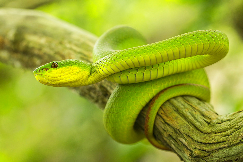 White-lipped Island Pit Viper on a branch, Komodo Indonesia