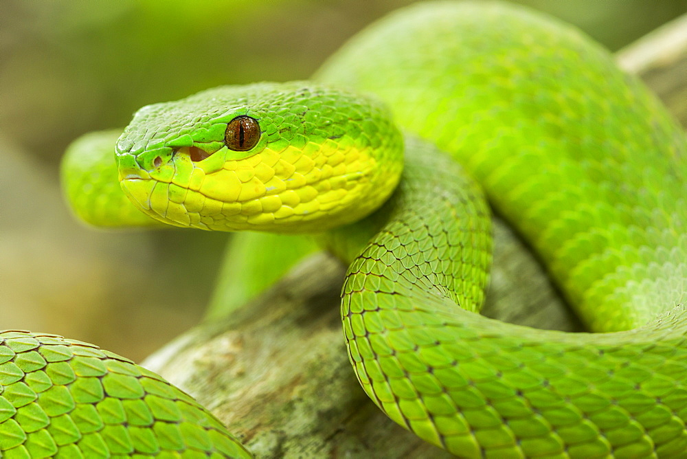Portrait of White-lipped Island Pit Viper, Komodo Indonesia