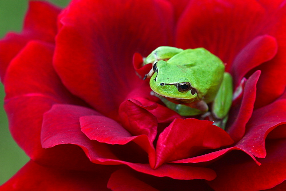 Mediterranean tree frog on a rose in a garden