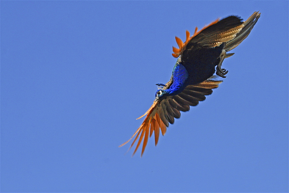 Indian peafowl in flight under a blue sky