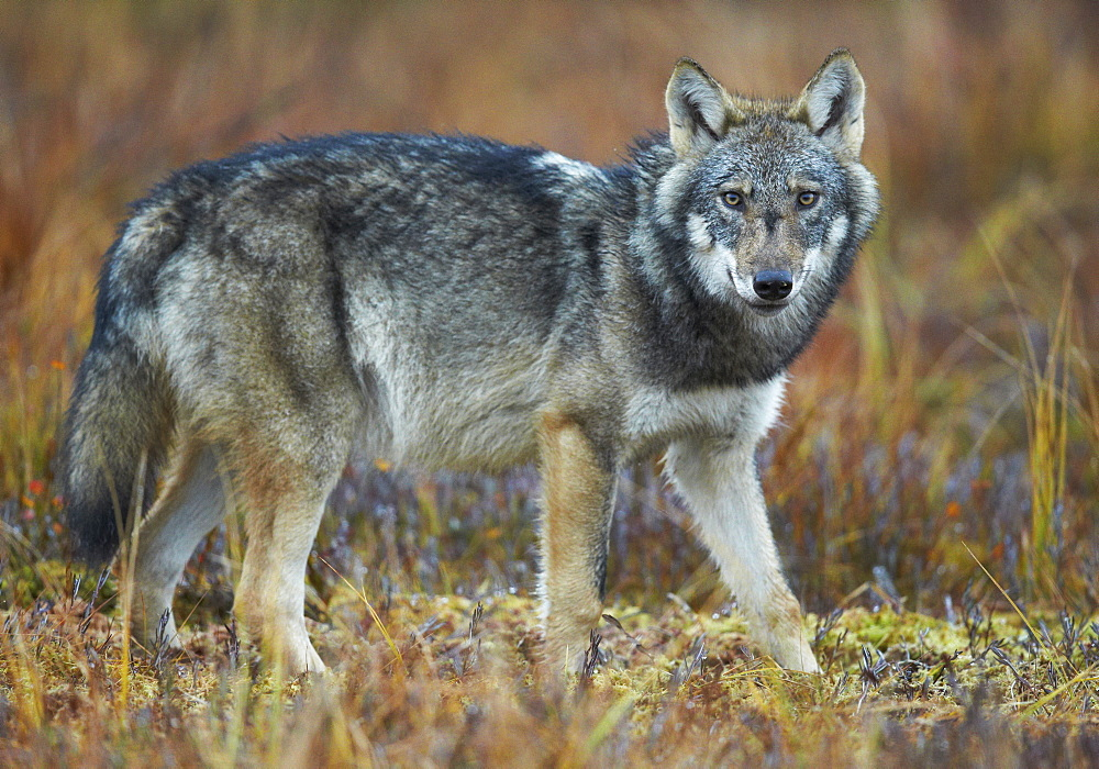 Grey wolf in wetlands in Eastern Finland