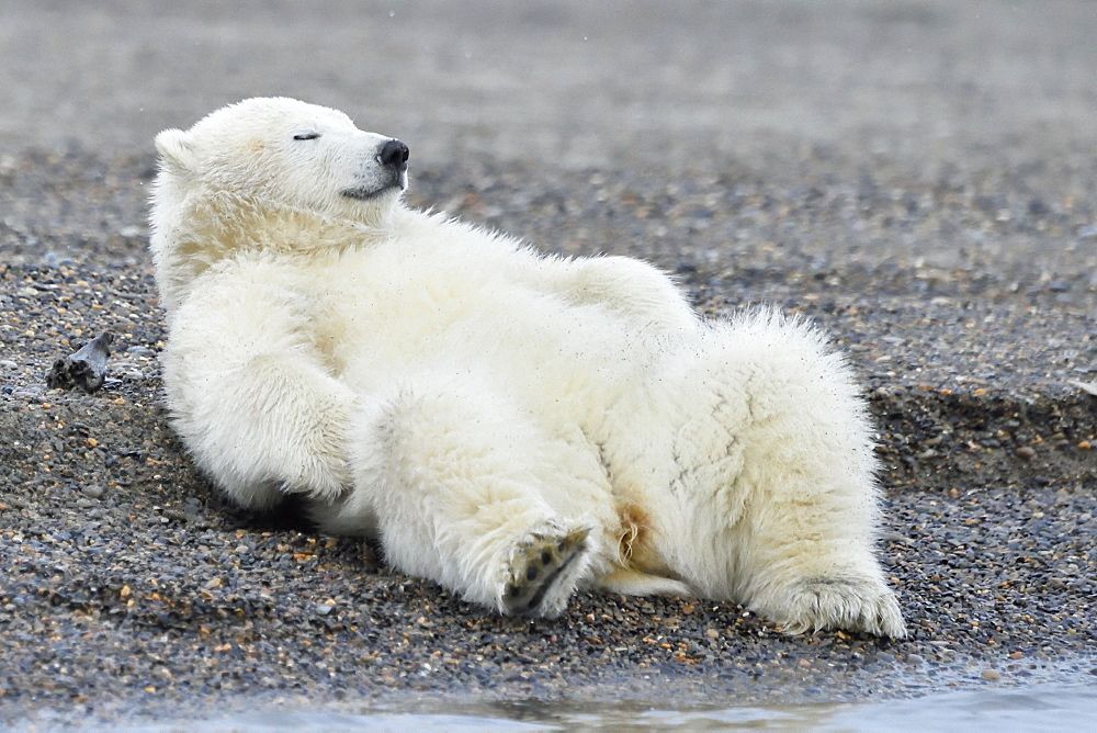 Polar bear sleeping on the back, Barter Island Alaska