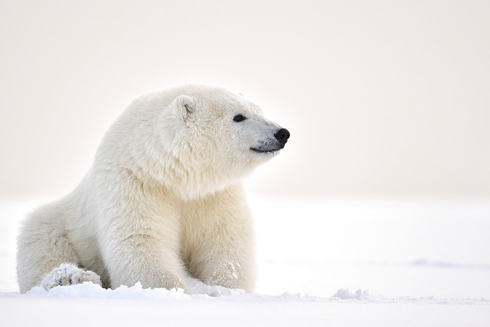 Polar bear sitting on snow, Barter Island Alaska
