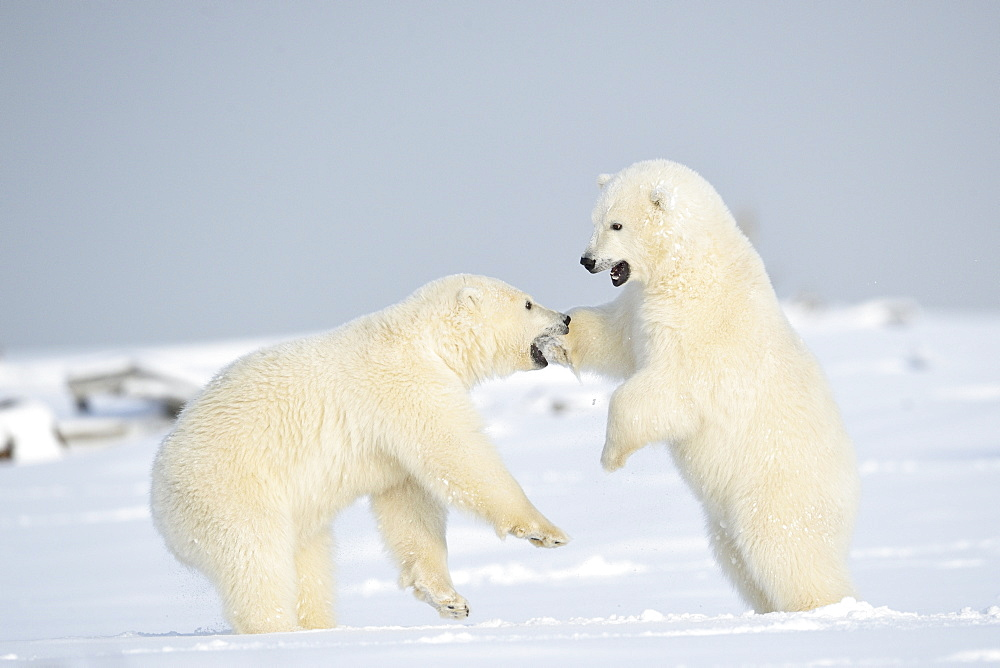 Polar bear cubs playing in the snow, Barter Island Alaska