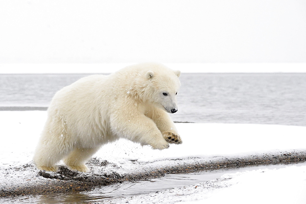 Polar bear cub jumping on shore, Barter Island Alaska