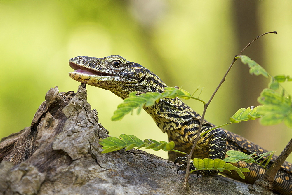 Young Komodo Dragon on a stump, Rinca Indonesia