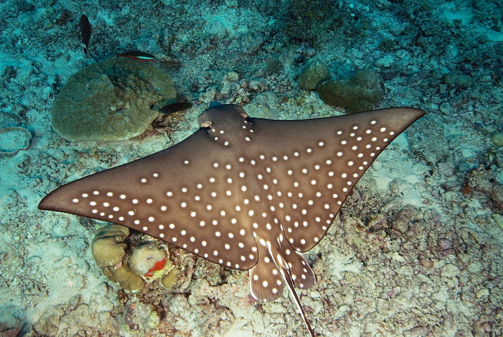 Spotted Eagle Ray on sea bottom, North Ari Atoll Maldives