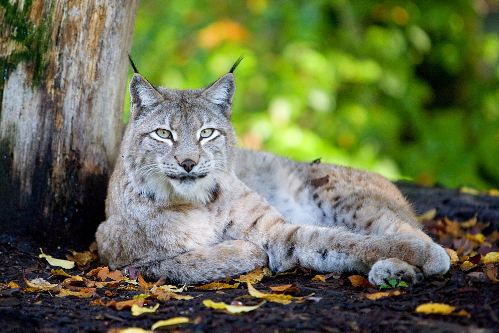 Eurasian lynx lying in the undergrowth, France