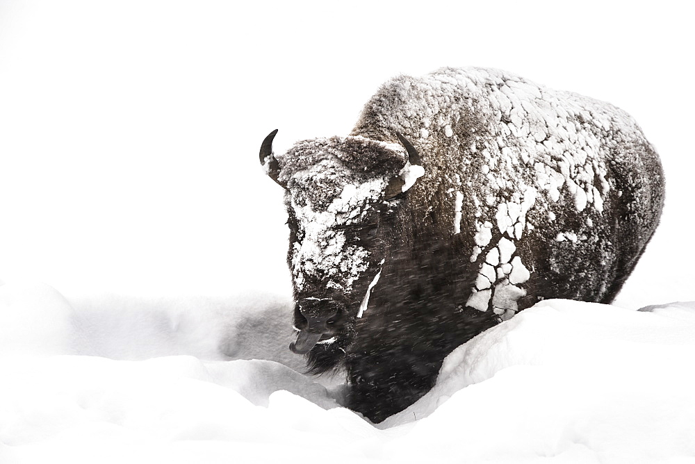 American Bison walking in the snow, Yellowstone USA