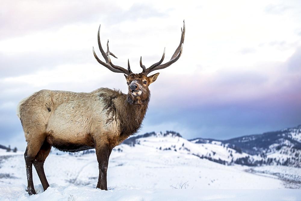 Wapiti in the snow at dawn, Yellowstone USA