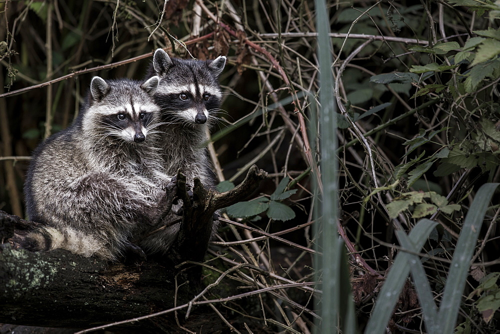 Raccoons on a bank, British Columbia Canada