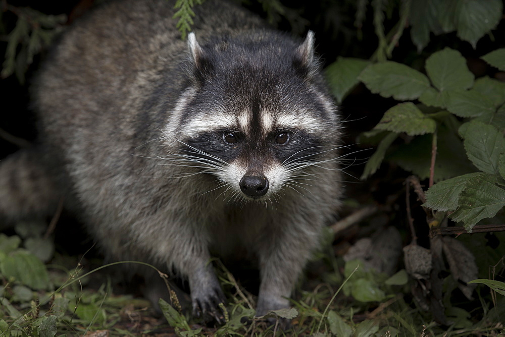 Raccoon undergrowth, British Columbia Canada
