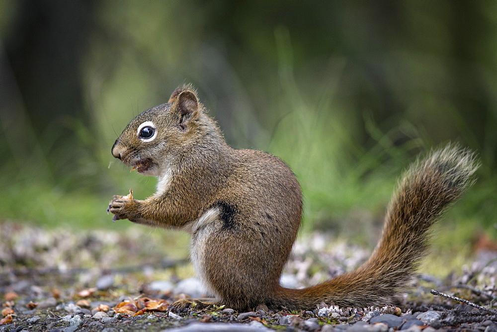 American Red Squirrel eating on ground, Katmai Alaska USA