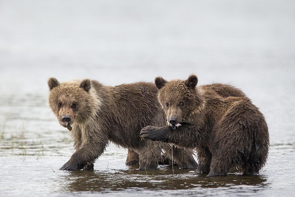 Young Grizzlys fishing in water, Katmai Alaska USA