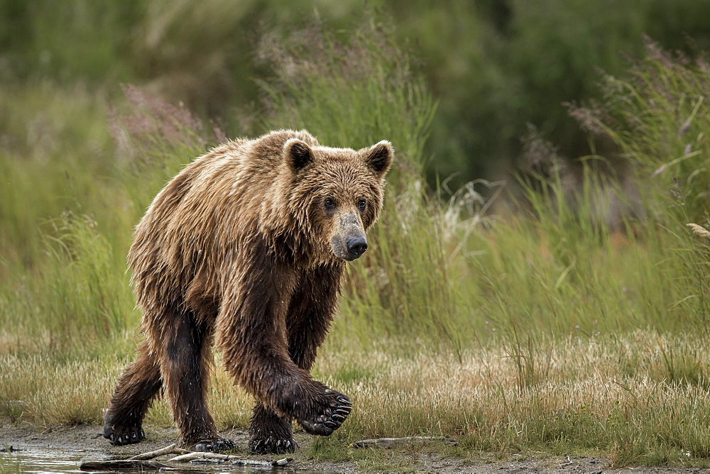 Grizzly walking on bank, Katmai Alaska USA
