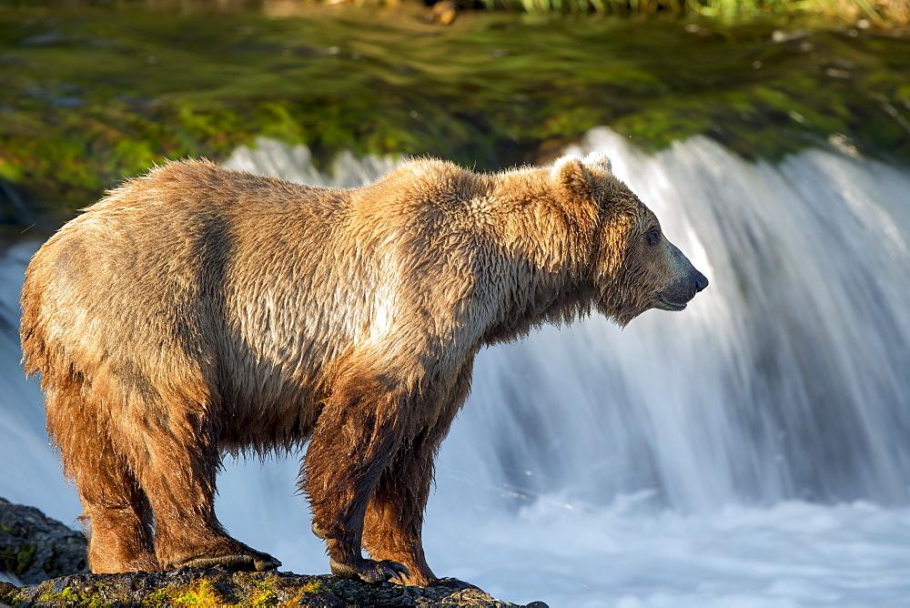 Grizzly front of a waterfall, Katmai Alaska USA