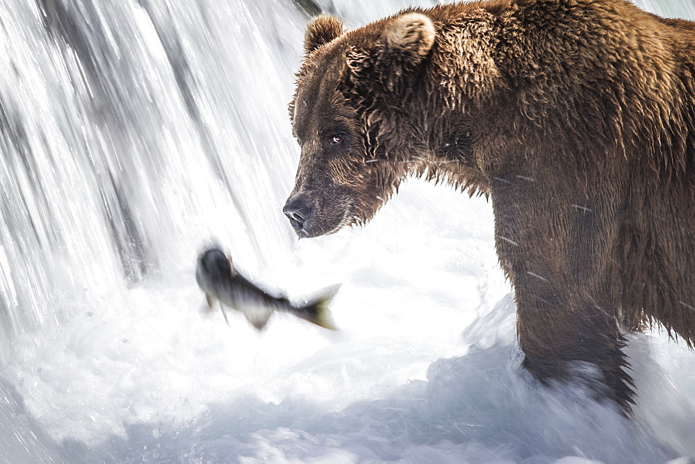 Grizzly catching Salmon in a waterfall, Katmai Alaska USA