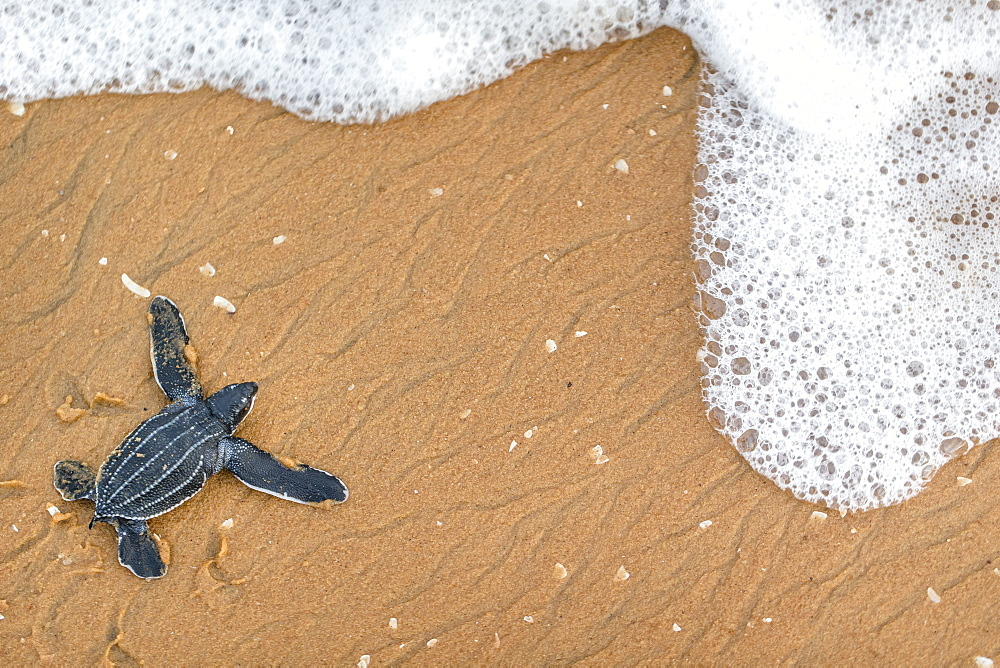 Young Leatherback turtle crawling towards the sea, French Guiana