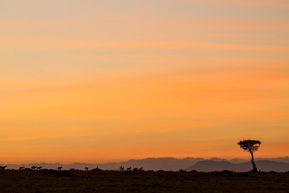 Kenya, Masai-Mara game reserve, hartebeest(Alcephalus busephalus cokii) at sunrise