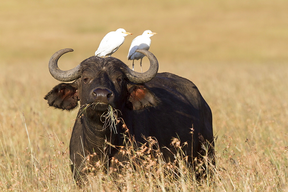Kenya, Masai-Mara game reserve, buffalo (Syncerus caffer), with cattle egret