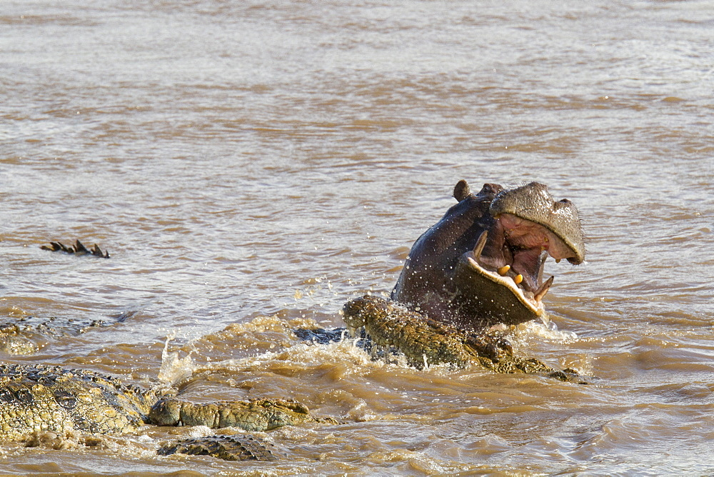 Kenya, Masai-Mara game reserve, Mara river, Nile crocodile (Crocodylus niloticus), fighting with hippo - 860-286615