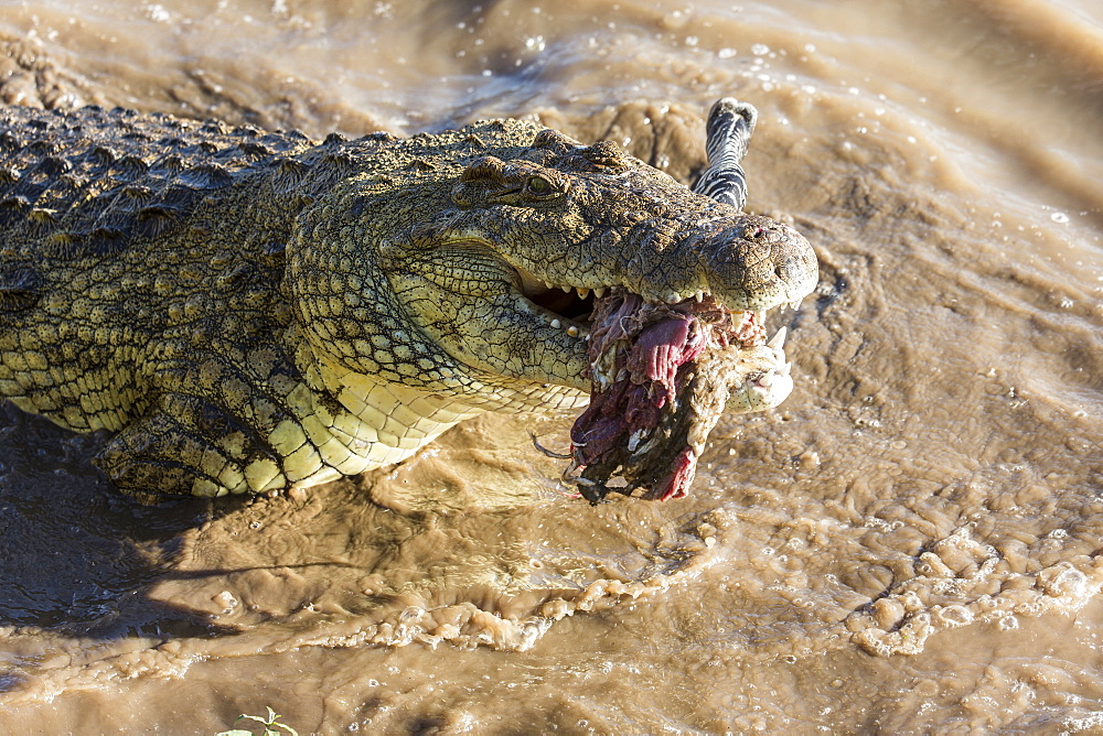 Kenya, Masai-Mara game reserve, Mara river, Nile crocodile (Crocodylus niloticus), fighting - 860-286616