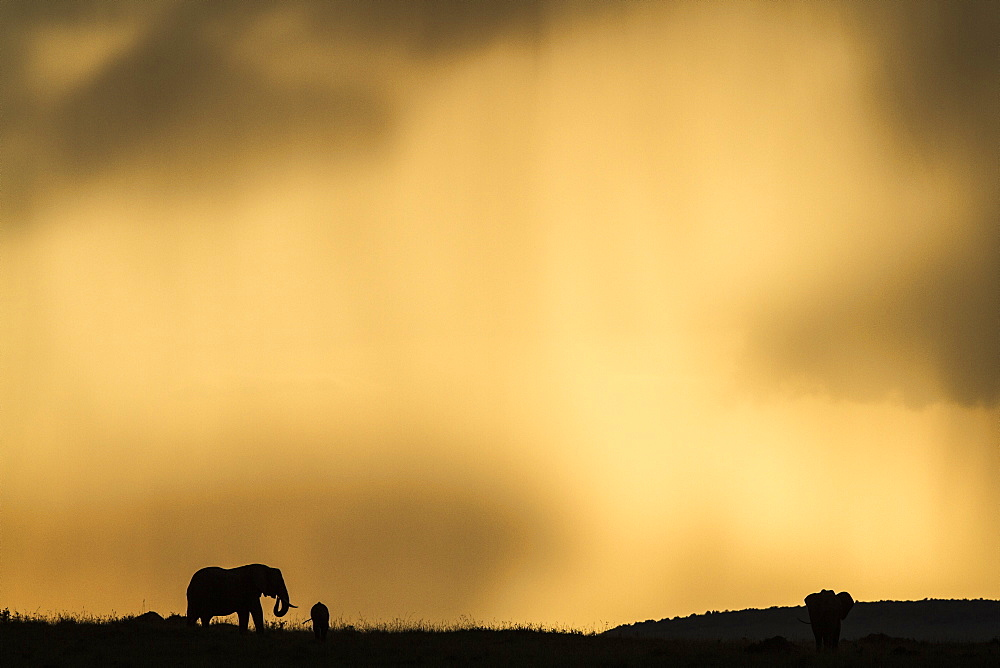Kenya, Masai-Mara Game Reserve, Elephant (Loxodonta africana), at sunset