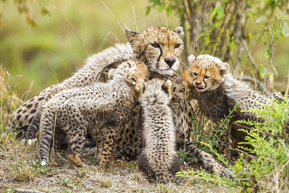 Kenya, Masai-Mara game reserve, cheetah (Acinonyx jubatus), female and cubs 8/9 weeks old