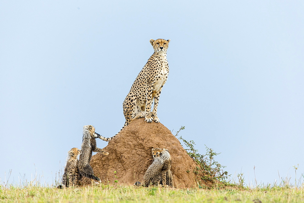 Kenya, Masai-Mara game reserve, cheetah (Acinonyx jubatus), female and cubs 3 months old