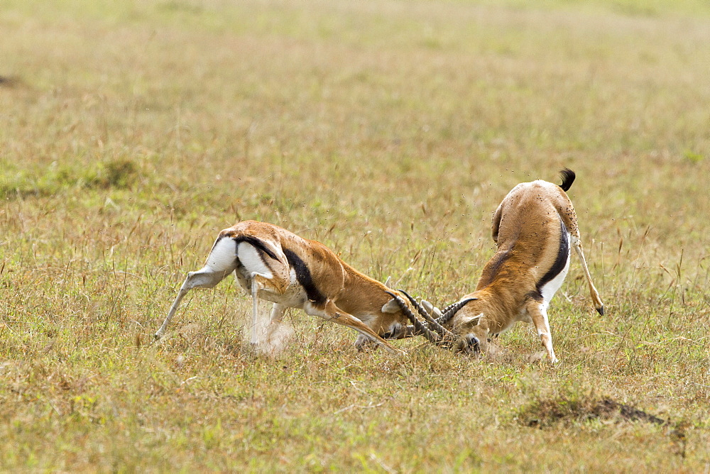 Kenya, Masai-Mara game reserve, Thomson's gazella (Gazella Thomsonii), males fighting