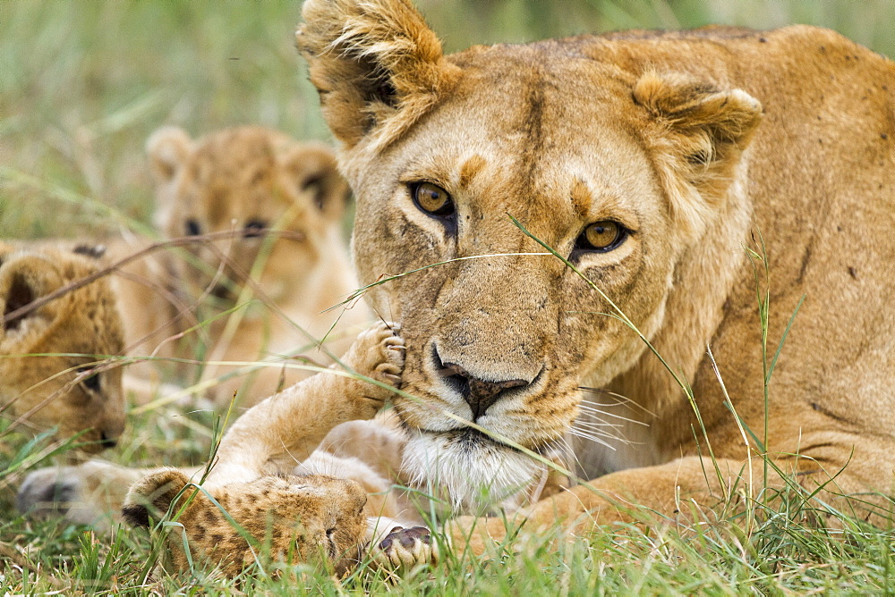Kenya, Masai-Mara game reserve, Lion (Panthera leo), mother and cubs - 860-286644