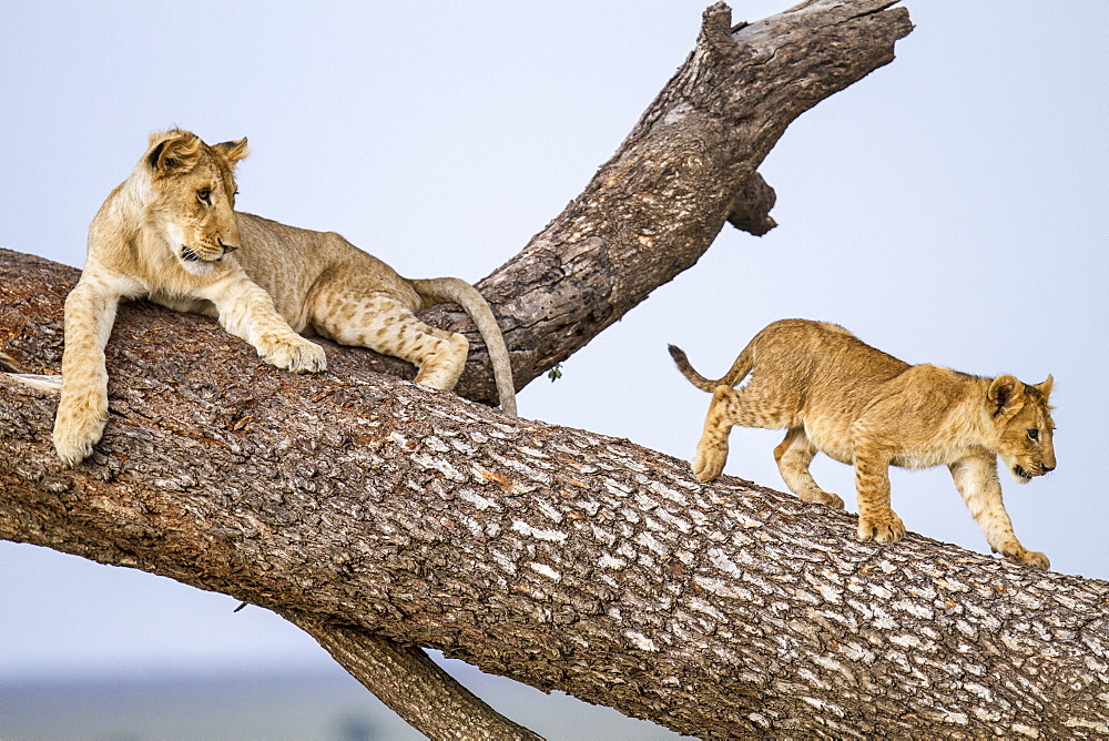 Kenya, Masai-Mara game reserve, Lion (Panthera leo), cubs