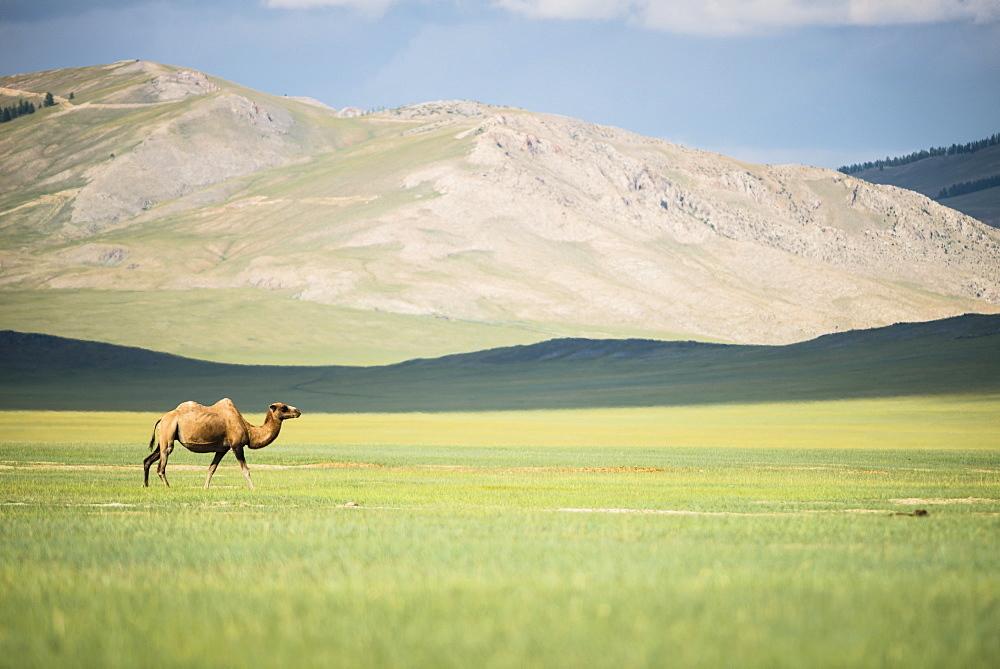 Bactrian camel (Camelus bactrianus) - Province of Khövsgöl - Mongolia