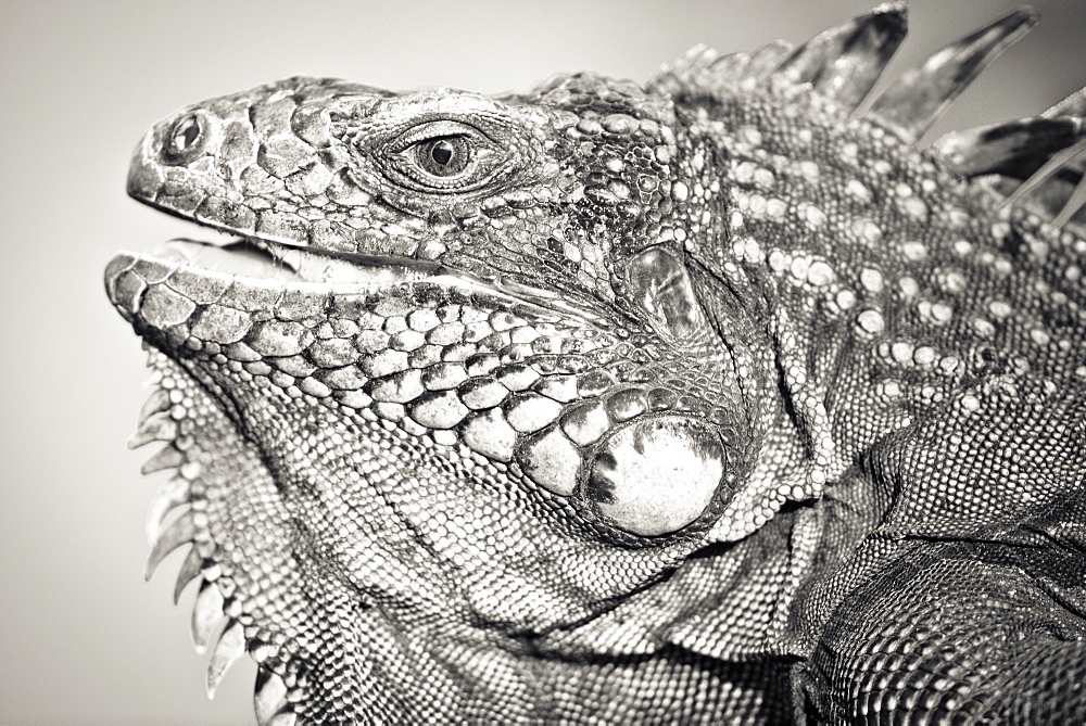 Portrait black and white of Green Iguana (Iguana iguana - Montserrat island