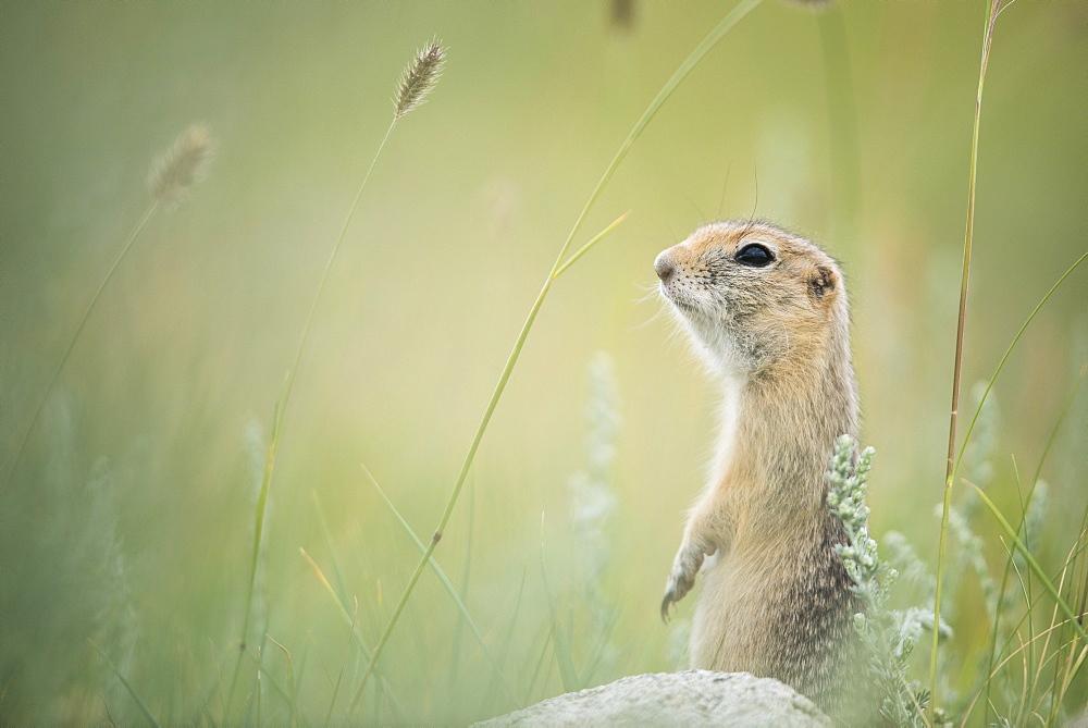 Pallid ground squirrel (Spermophilus pallidicauda) lookout, Tsaritsyn Ereg - Province of Arkhangai - Mongolia