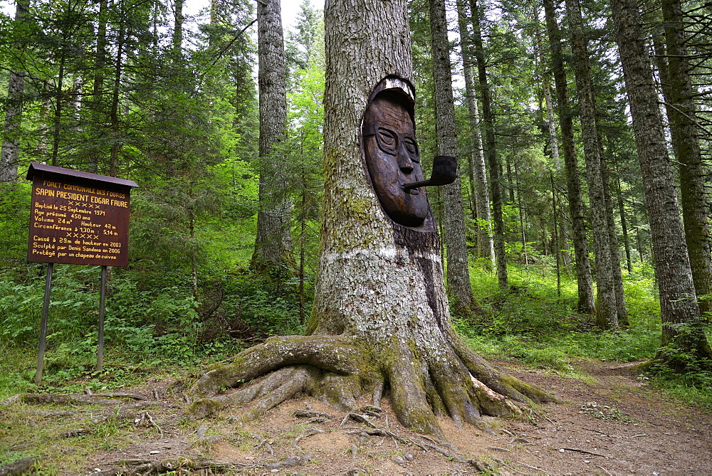 "Fir ""President Faure"" in Fourgs forest, old tree 450 years whose trunk is carved face of Edgar Faure and his pipe, Silver fir (Abies pectinata), Haut- Doubs, Franche-Comté, France"