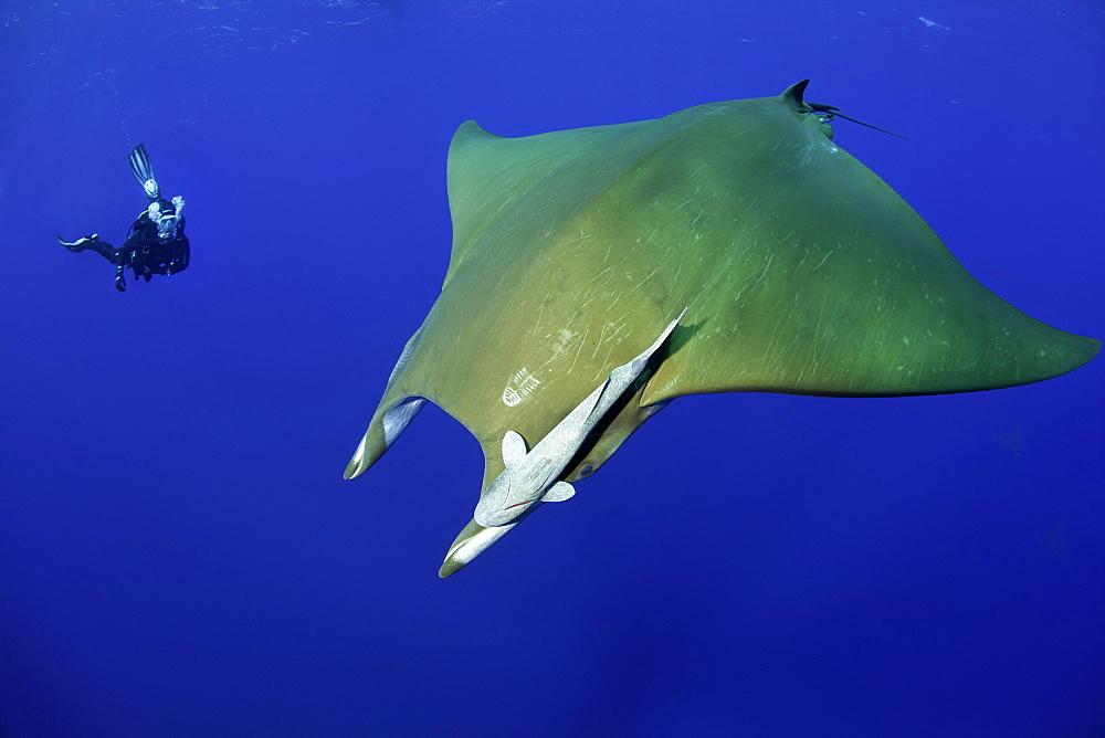Scuba diver with sicklefin Mantas, Mobula tarapacana, Ambrosio dive site, Santa Maria Island, Azores, Portugal, Atlantic Ocean