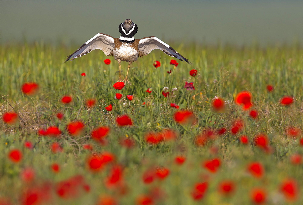 Little bustard (Teyrax tetrax) Bustard Displaying amongst poppies at sunrise, Spain, Spring