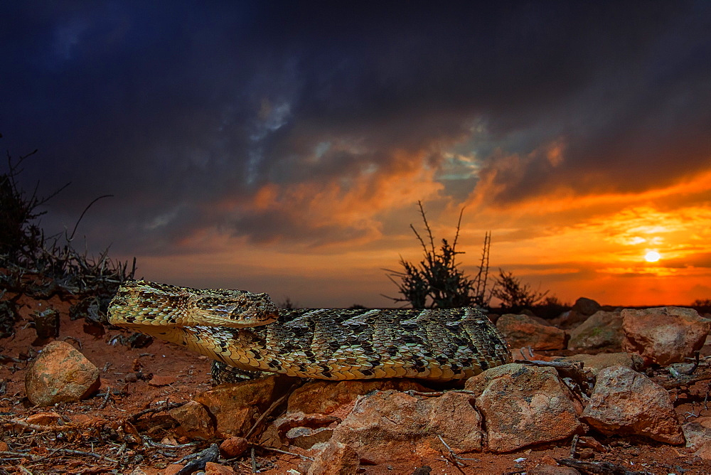 Puff adder (Bitis arietans) photographed in Morocco.