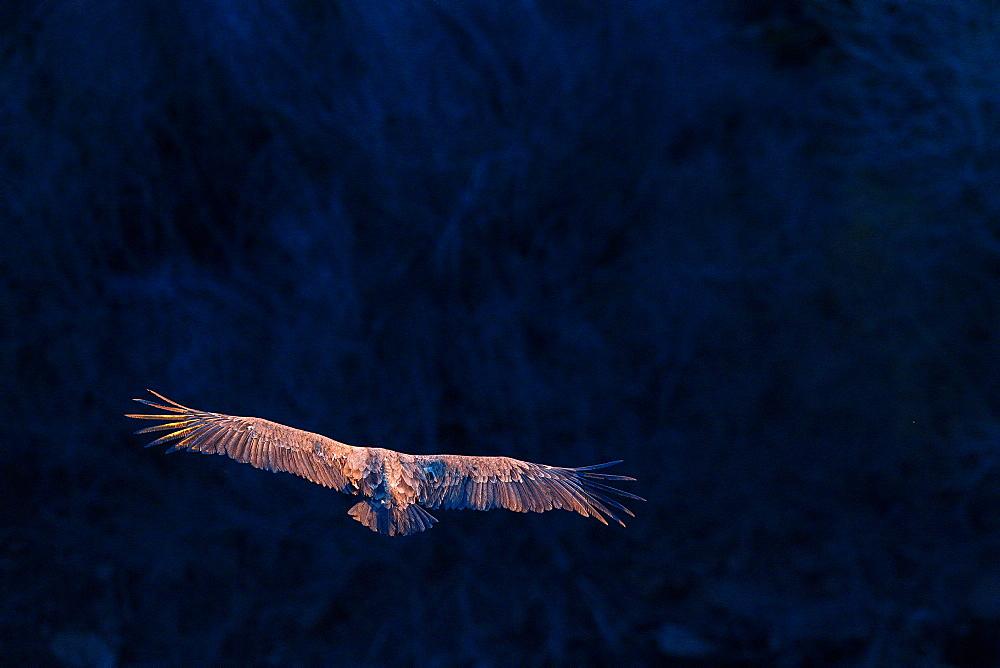 Eurasian Griffon, Eurasian Griffon Vulture (Gyps fulvus). Segovia, Spain.