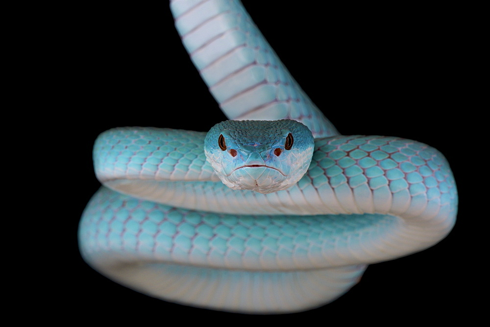 Portrait of White-lipped island pitviper (Trimeresurus albolabris insularis) on black background