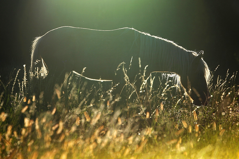 Horse against day in tall grass, France