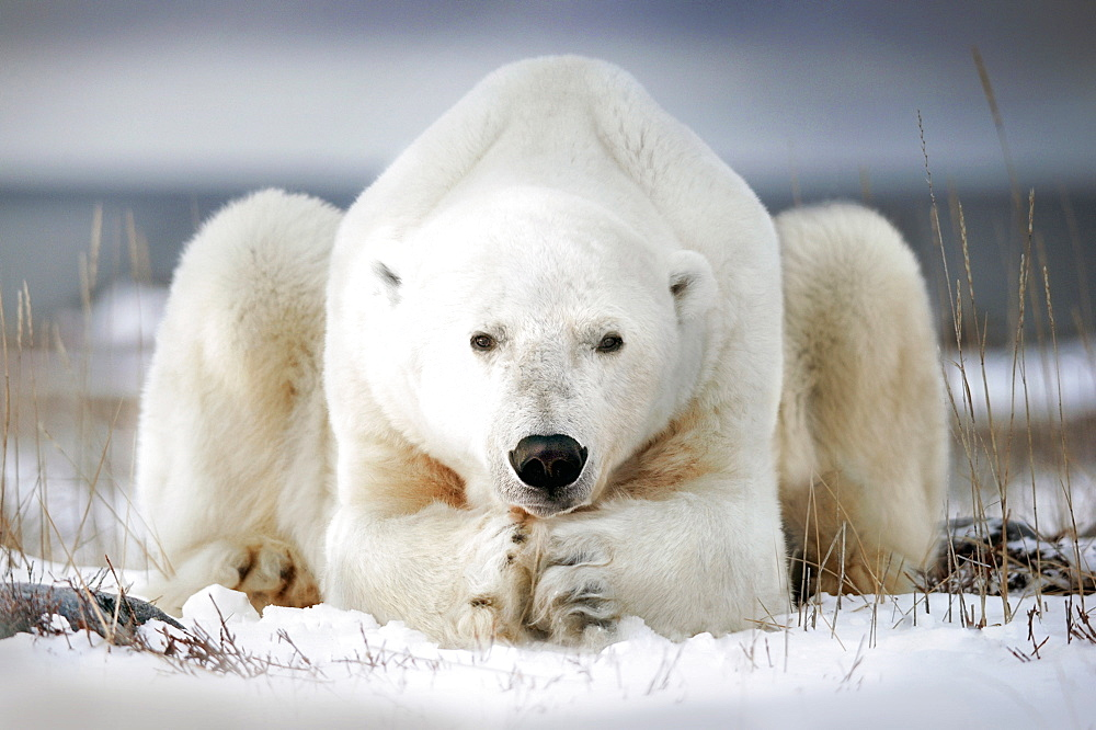 Polar bear seems to pray, Churchill bay, Canada