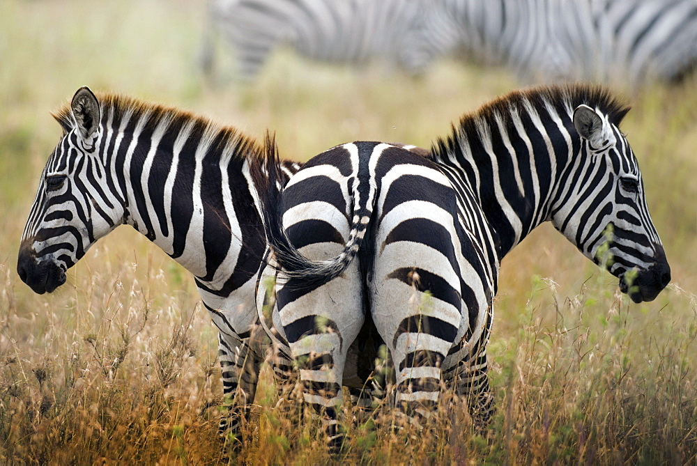 two zebras in the savannah, Tanzania